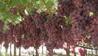 ما الفرق بين العنب الأحمر و العنب الأسود؟