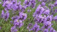 5 فوائد صحية لعشبة اللافندر