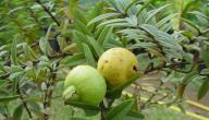 مجموعة من استخدامات ورق الجوافة؟؟
