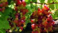 كيف نحافظ على عناقيد العنب؟