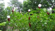 نبات القسط الهندي وفوائدة الصحية