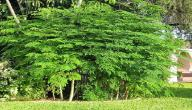 ما هي شجرة المورينجا