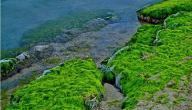 ما أهمية الطحالب للإنسان ؟