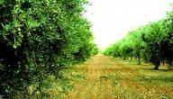 خصائص شجرة الزيتون
