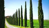 فوائد شجرة السرو