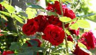 طريقة زراعة الورد الجوري