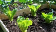 طريقة زراعة الخس