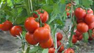 كيفية زراعة الطماطم