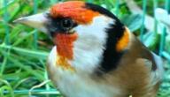 معلومات عن طائر الحسون