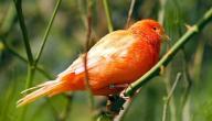 معلومات عن طيور الكناري