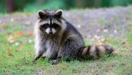 معلومات عن حيوان الراكون