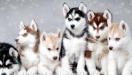 معلومات عن كلاب هاسكي