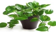 أنواع نباتات الظل وأسمائها