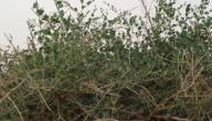 أبرز فوائد عشبة الروحب