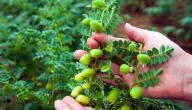 طريقة زراعة الحمص