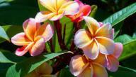 فوائد وأضرار نبات الدفلة