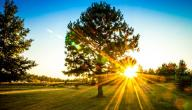 فوائد شجرة الصنوبر الصحية
