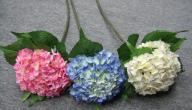 استخدامات زهرة الهيدرانجيا