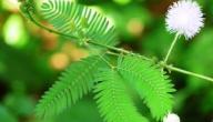 معلومات عامة عن نبات ميموسا بوديكا