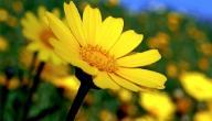 معلومات عامة عن أقحوان زهرة الذهب