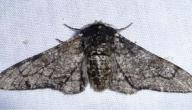 معلومات عن الفراشة Biston Betularia