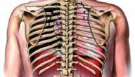 عدد أضلاع القفص الصدري