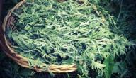 فوائد عشبة البعيثران