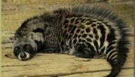 معلومات عن قط الزباد