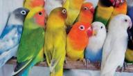 طيور الحب الفرق بين الذكر والأنثى
