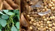 كيفية زراعة فول الصويا