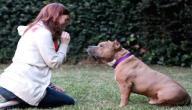 كيفية تدريب كلاب البيتبول