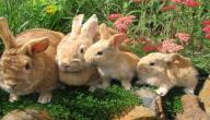 كيفية تربية الأرانب على الأرض