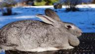 معلومات عن أرانب شنشلا