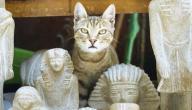 معلومات عن القطط الفرعونية