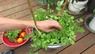 كيفية زراعة الكزبرة