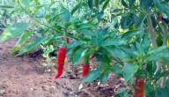 طريقة زراعة الفلفل الحار