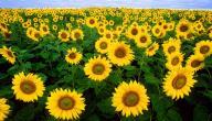 طريقة زراعة عباد الشمس