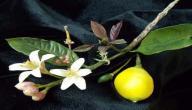 فوائد زهر الليمون