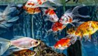 ما هي أنواع أسماك الزينة