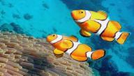 كيف تتكاثر الأسماك