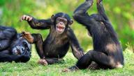 معلومات عن حيوان الشمبانزي
