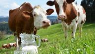 أضرار حليب البقر