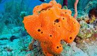 معلومات عن إسفنج البحر