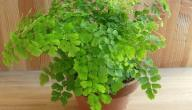 نبات السرخس وفوائده
