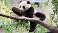 حقائق عن دب الباندا