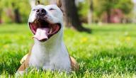 معلومات عن كلاب البيتبول