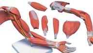وظائف العضلات في الجسم