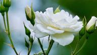 ماذا تعني الوردة البيضاء