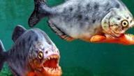 معلومات عن سمك البيرانا