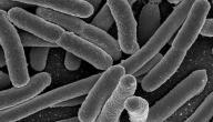 ما هي بكتيريا الإشريكية القولونية
